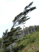 Tree versus wind. Both win. Vancouver Island