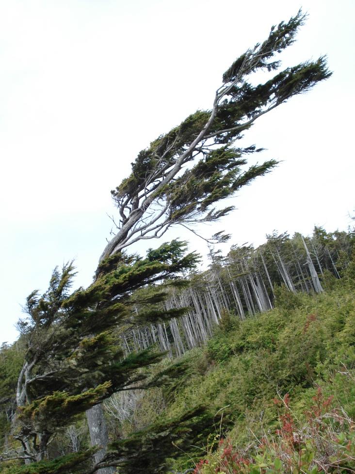 Tree versus wind. Both win. Vancouver Island